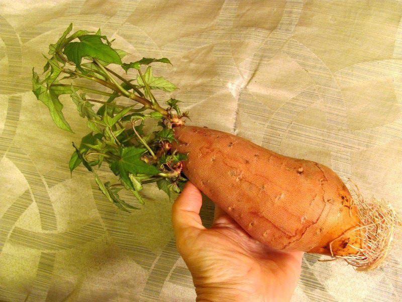 Способ выращивание роз в картошке 99