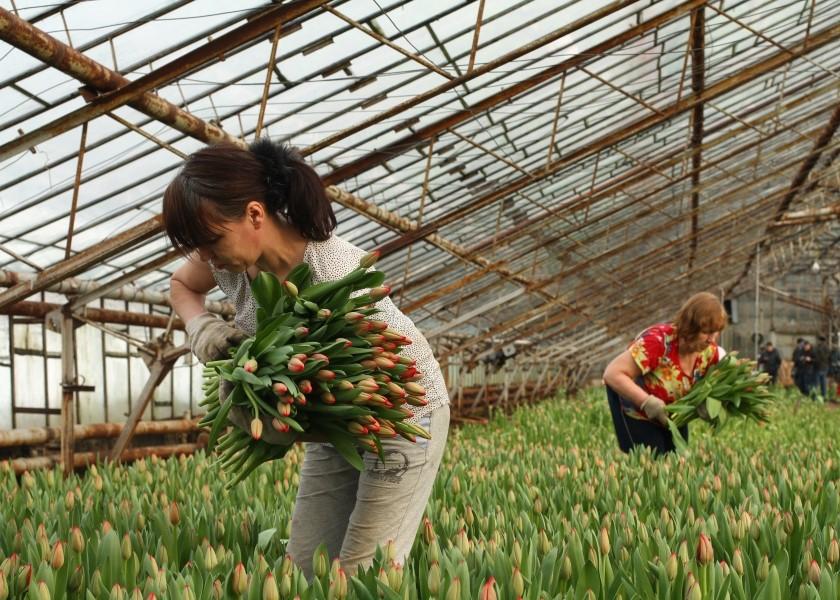 Выращивание тюльпанов для продажи 7
