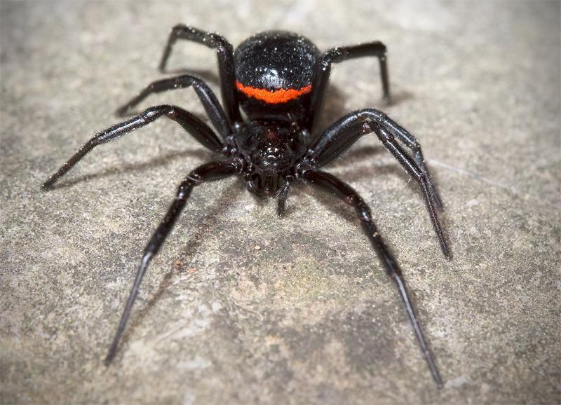 паук черного цвета фото и их описание носил имя своего